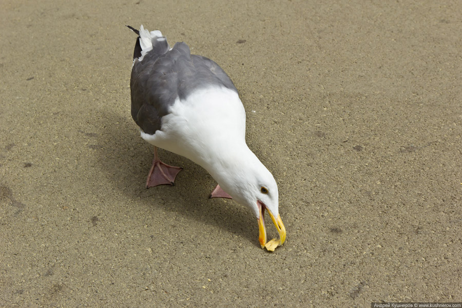 Чайка