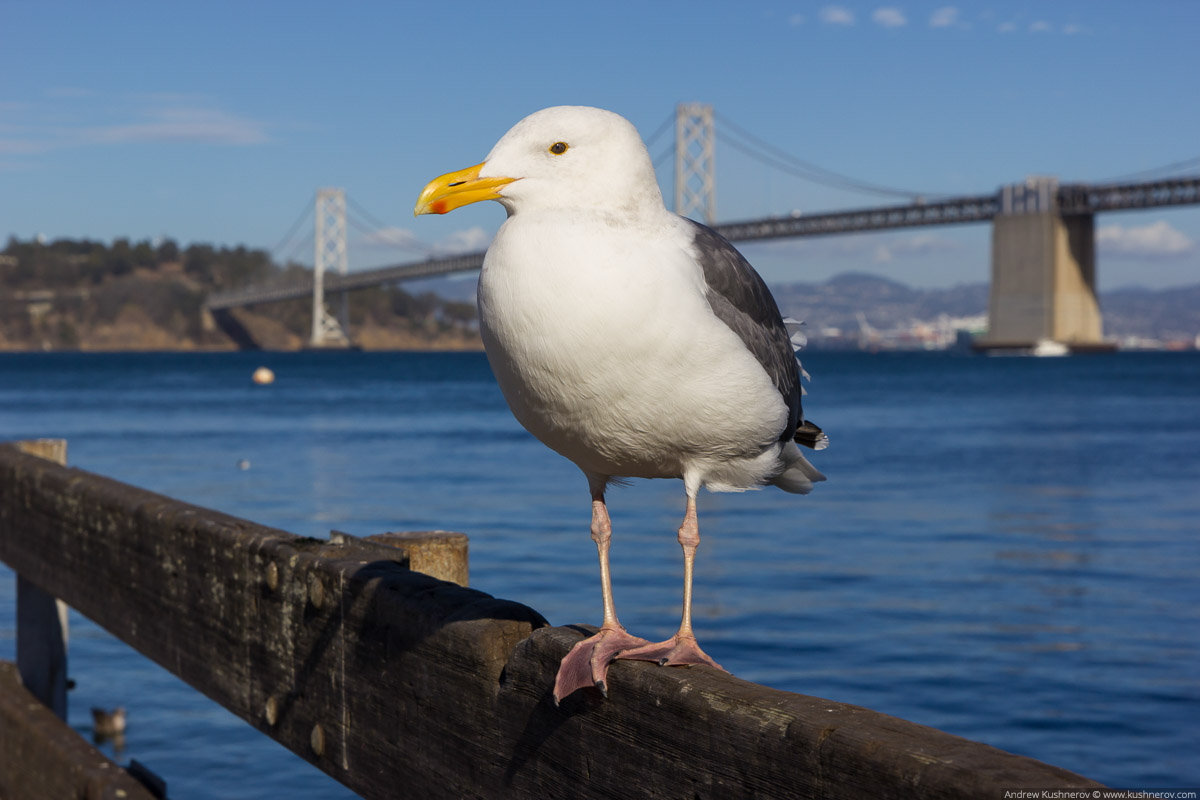 Сан-Франциско, чайка на фоне моста в Окланд